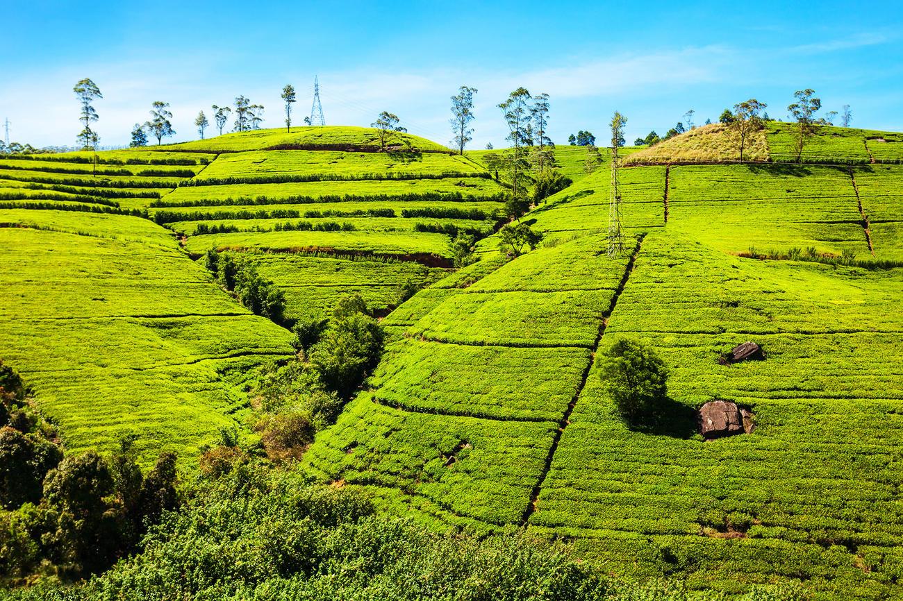 Discover the tea plantations of Nuwara