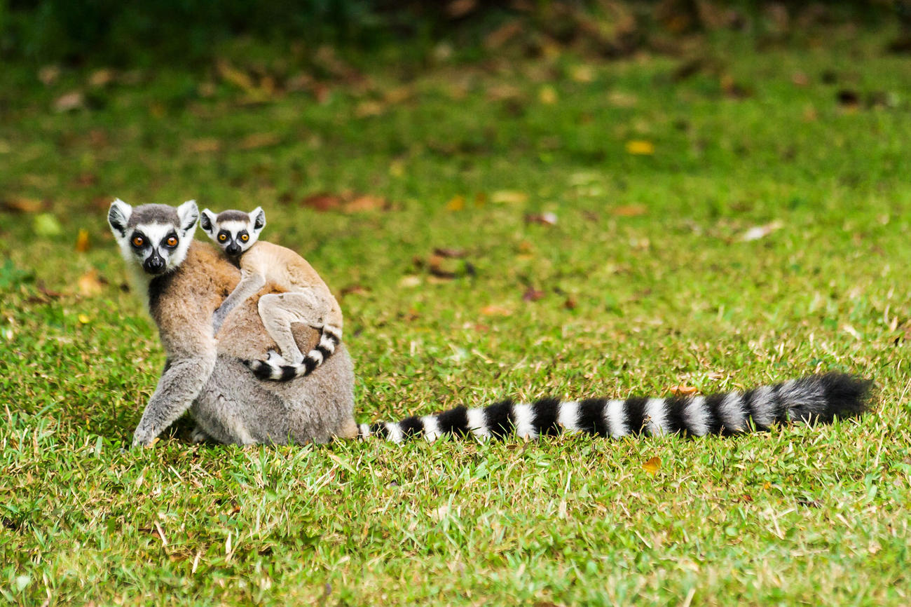 See baby lemurs in October when you visit Madagascar