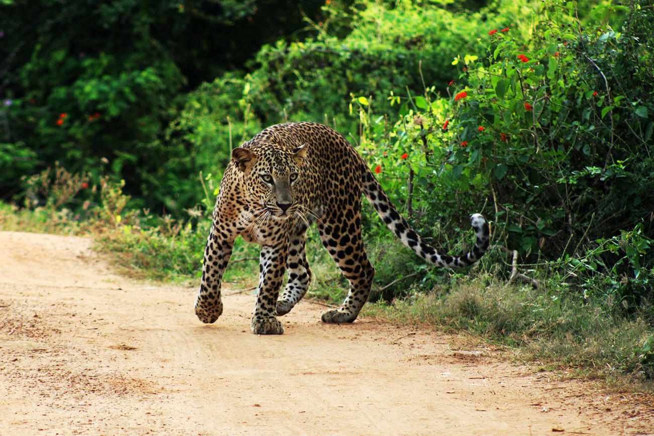 Spot leopards in Yala National Park when visiting Sri Lanka
