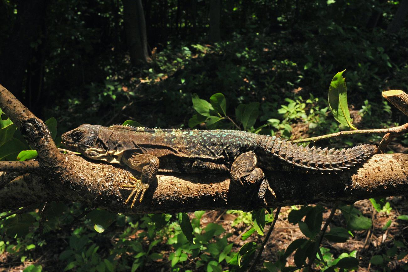 endangered species of Iguana in Nicaragua