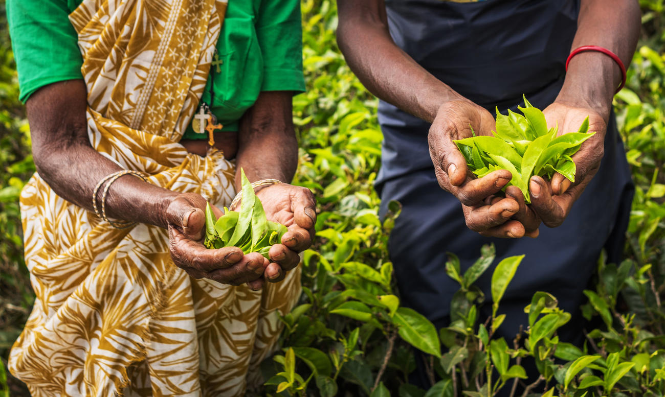 Visit A Tea Factory On Your Sri Lanka Holiday