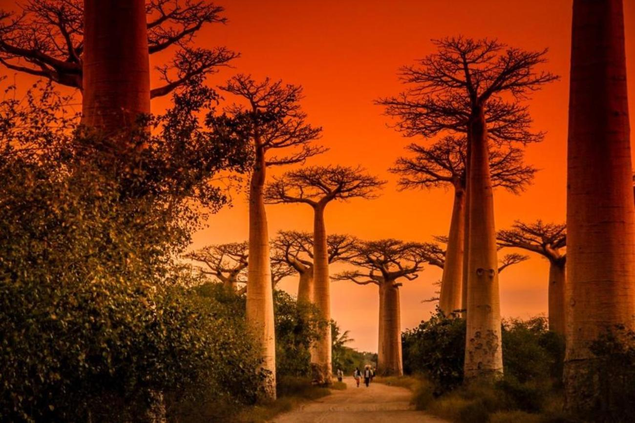 Explore The Baobabs Trees In Madagascar