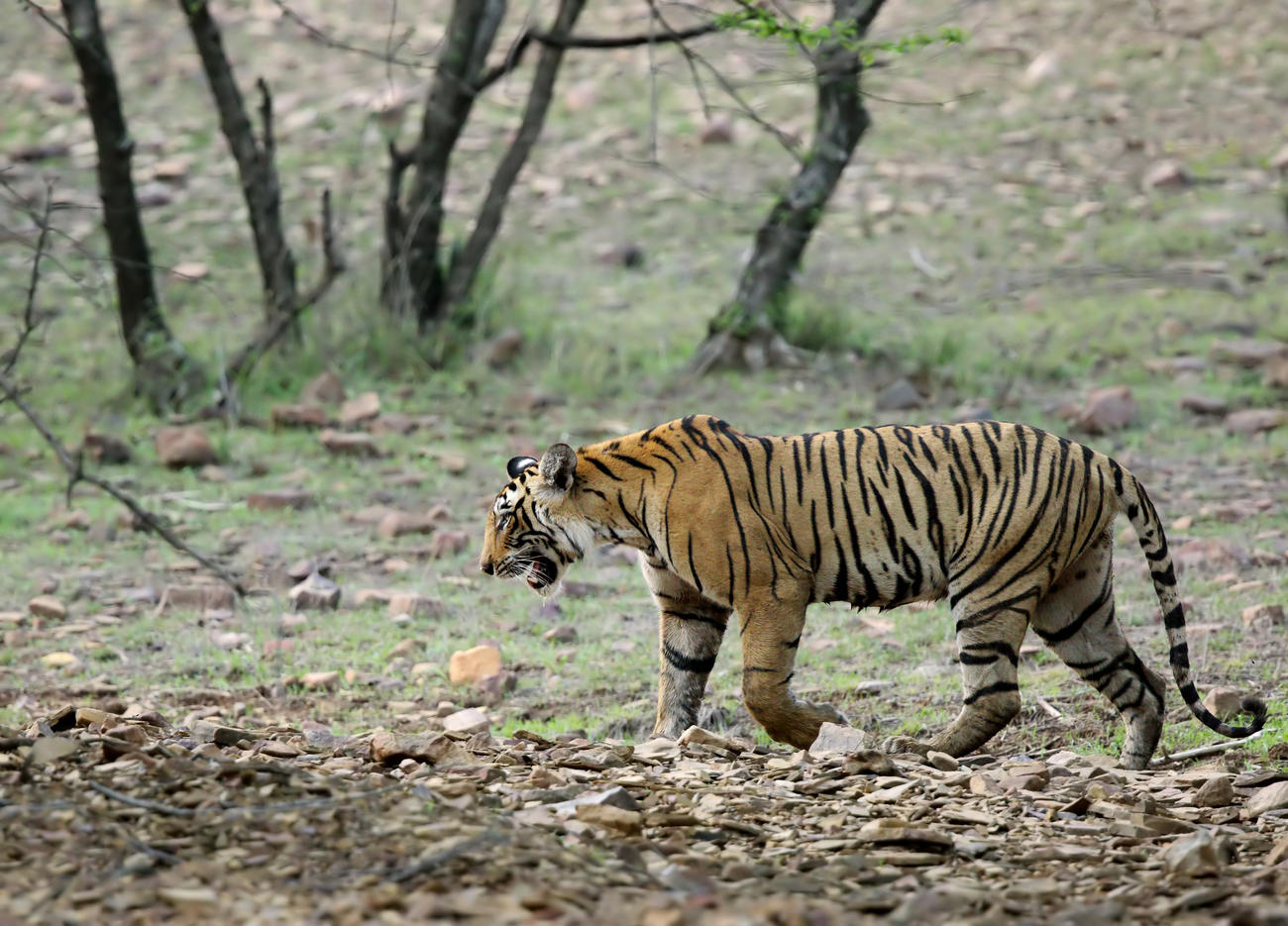 Spot tigers when visiting Ranthambore