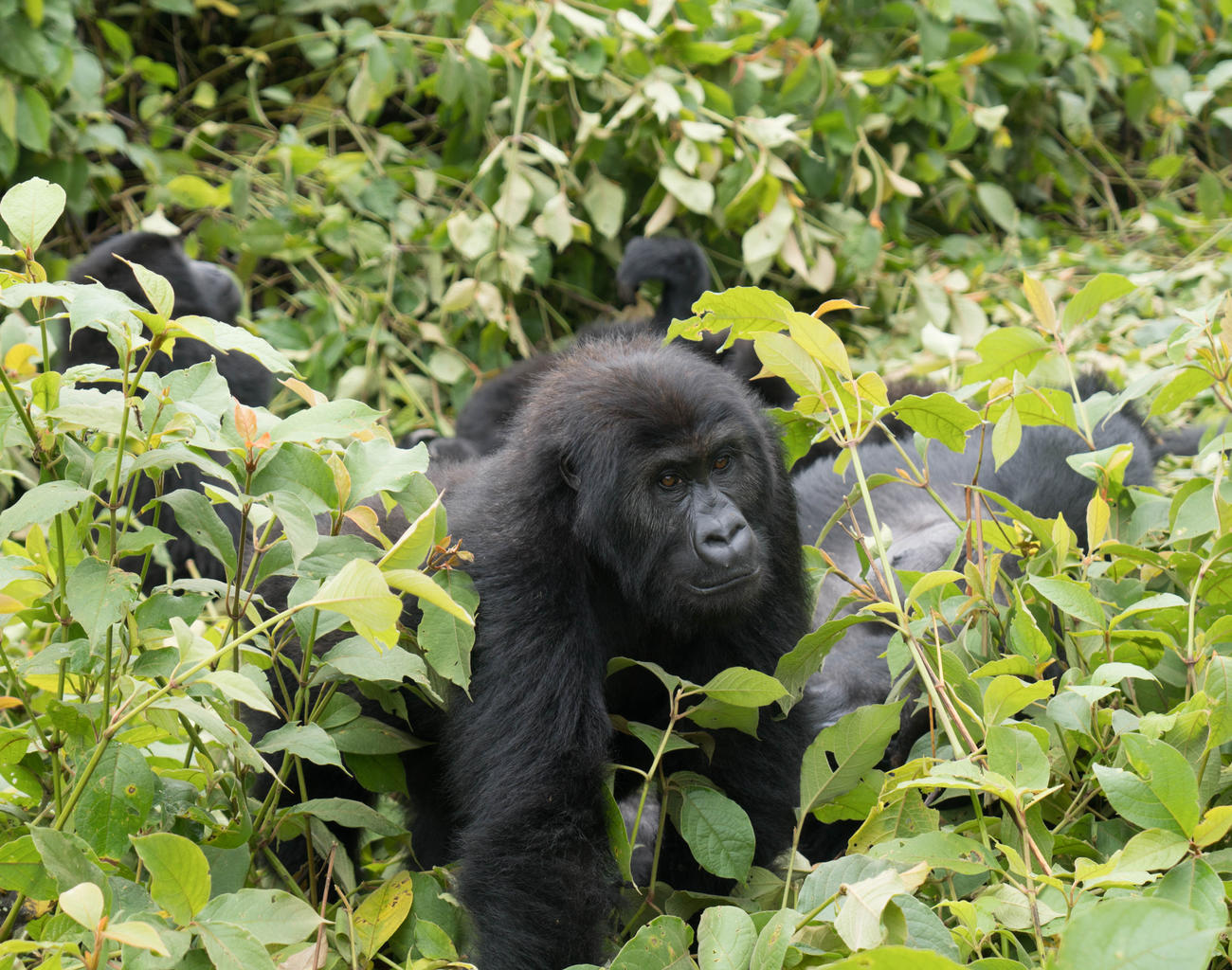 Gorillas in the DRC