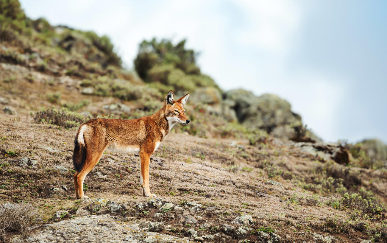 Things to do in Ethiopia - Spot a wolf