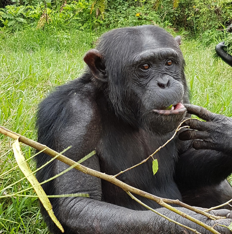Chimpanzee in Rwanda