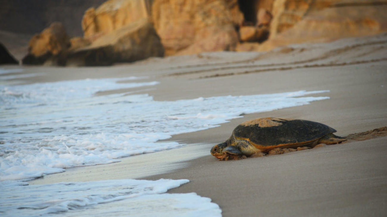 See Turtles on our Oman tours
