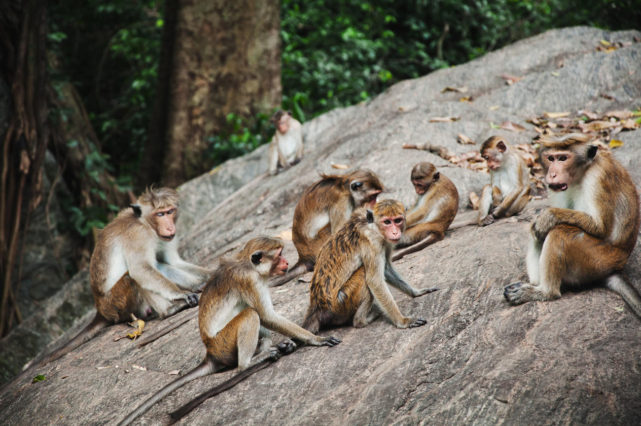 Things to o in Sri Lanka - Visit the Primate Center